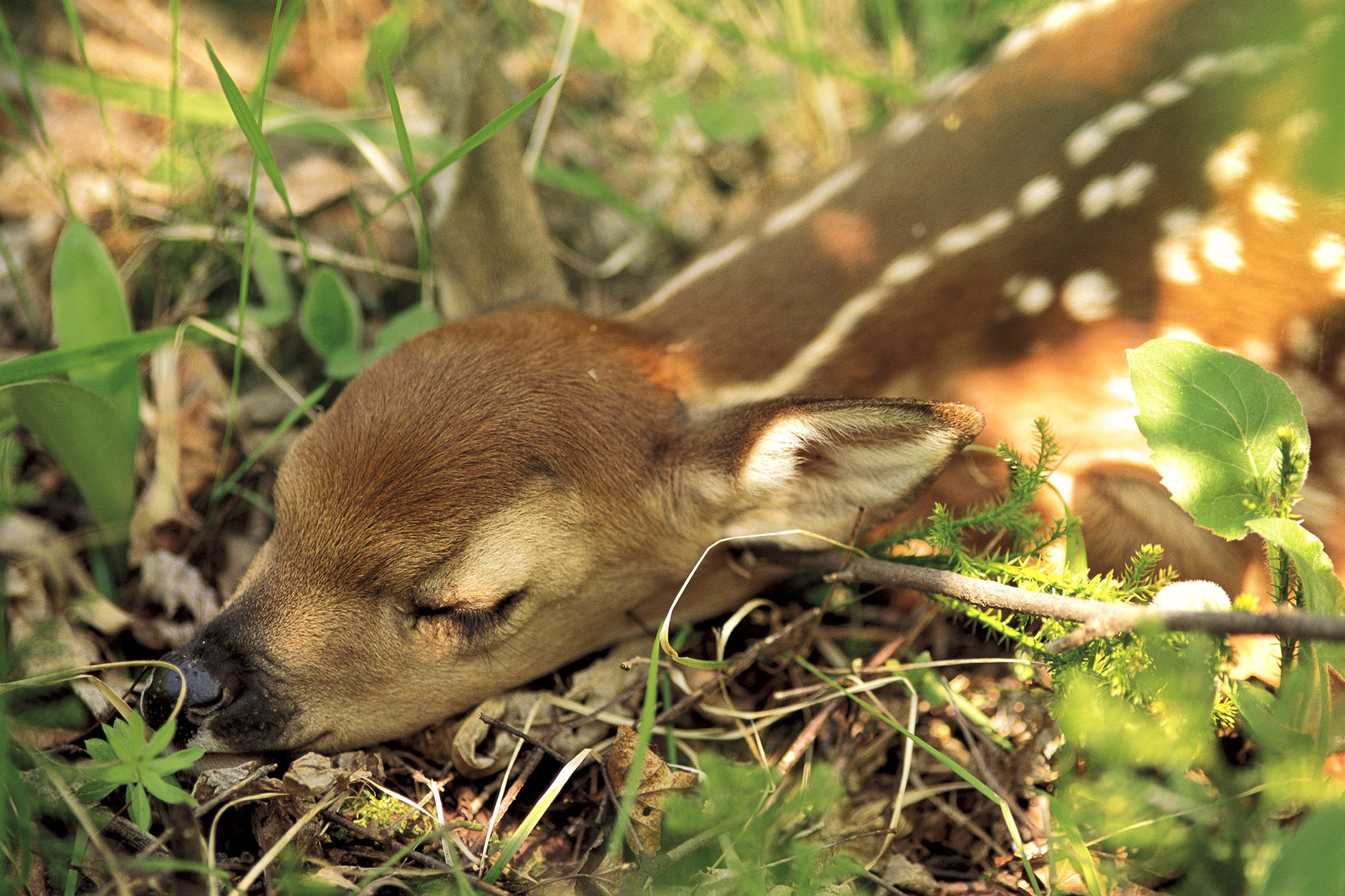 fawn_small